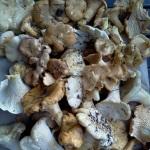 chanterelle harvest