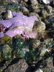 Purple sea star